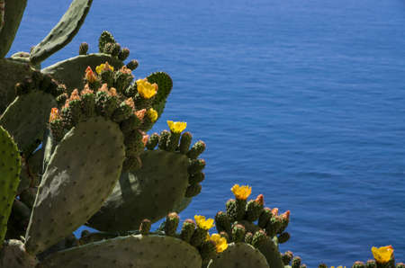 opuntia: Opuntia ficus-indica looking to the Tirrenian sea