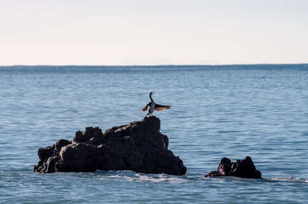 Cormorant perched on a rock singing and dries its wings in the sun
