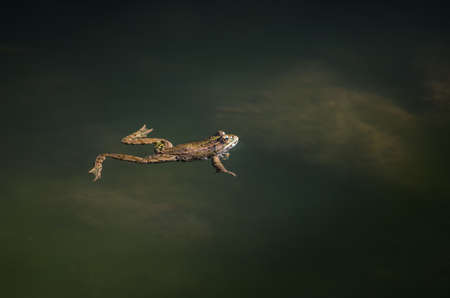 Small frog swimming and hunting long the river course photo