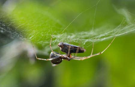 araneidae: Spider while killing a Cycadella Viridis fallen in his net