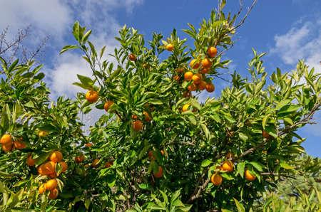 mandarin orange: Fruits of orange tree with a blue sky  Stock Photo