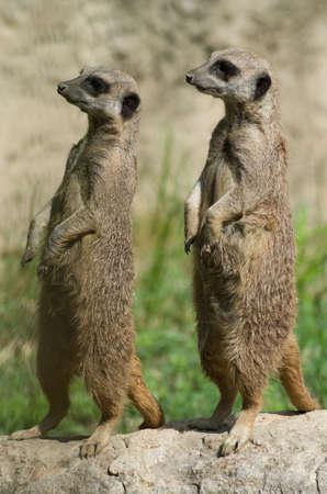 Two suricates looking forward the horizon Фото со стока