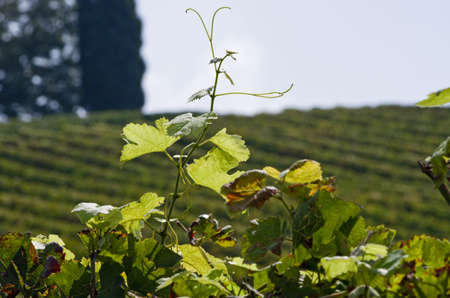 wineyard: Close up of new young leaf in tuscany wineyard Stock Photo