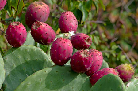 Red and ripe prickly pear on the plant of Opuntia Ficus Indica