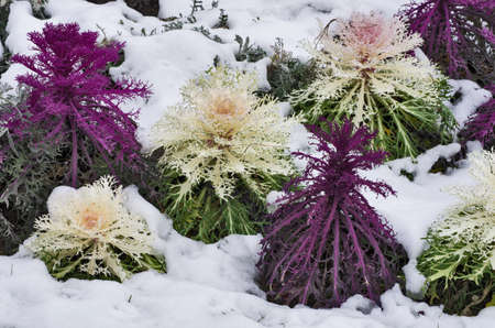 Some ornamental cabbage partially covered by the snow