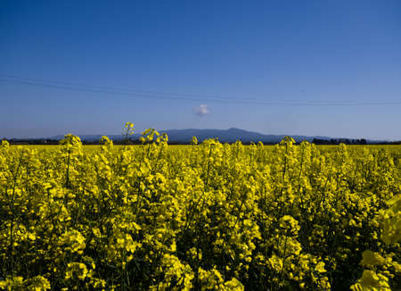 campestris: Blossoming field of Brassica Rapa Campestris during spring