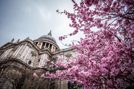 enriched: The prospect of the Saint Paul cathedral is enriched by the spring bloom of a prunus tree