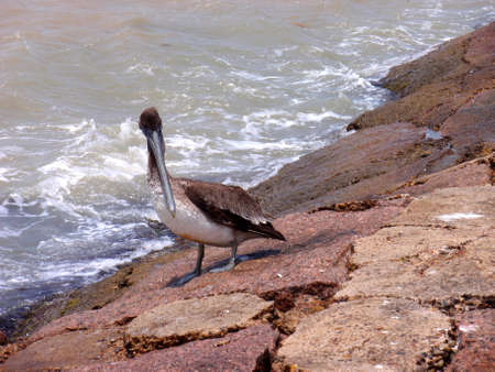 south padre island: Pelican at South Padre Island, Texas, on rocks. Stock Photo