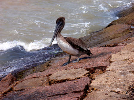 south padre: Pelican at South Padre Island, Texas, on rocks. Stock Photo
