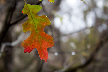Leaf turning from green to orange during the fall season on a cold wet day in the woods.