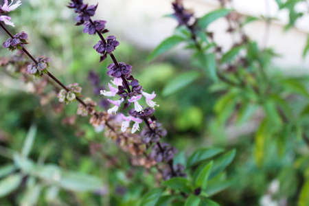 Basil in an herb garden. 写真素材