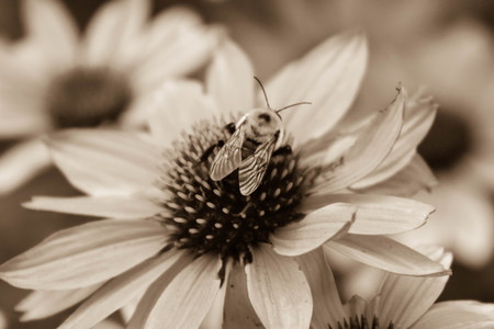 pollinate: A bee pollinating on a flower Stock Photo
