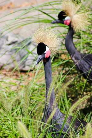 monogamous: West African Crowned Crane Stock Photo