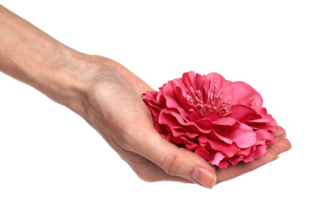 Hand of woman holds the pink flower on white background Stock Photo