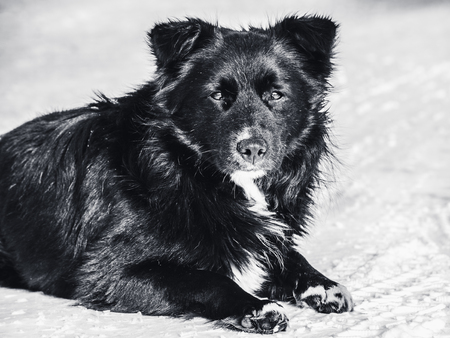 A stray dog lies on the snow monochrome photo. Homelessness, loneliness, hunger.