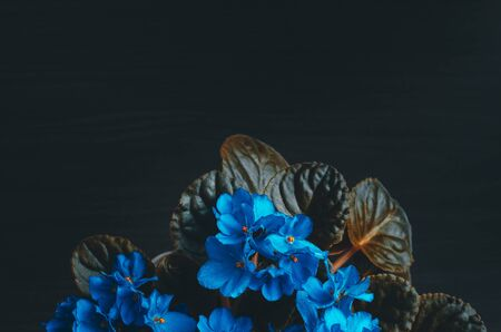 Bright blue viola flowers with leaves on dark background. Beautiful floral backdrop with copy space