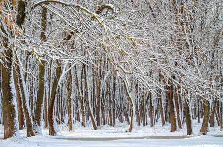 Trunks of trees covered with snow horizontal seasonal background with copy space
