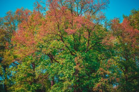 Colorful upper branches of tree in early autumn on clear blue sky background