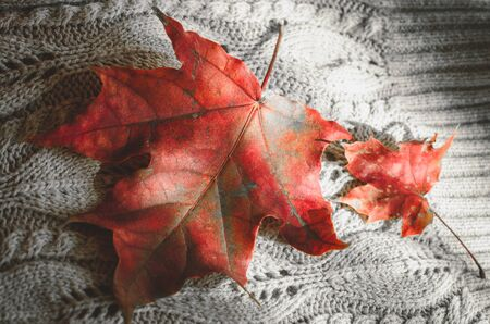 Two red maple leaves on knitted background close-up top view. Seasonal sunny backdrop