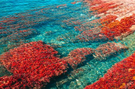 Red seaweed on the bottom of the blue sea. Summer marine background with copy space Imagens - 143770816