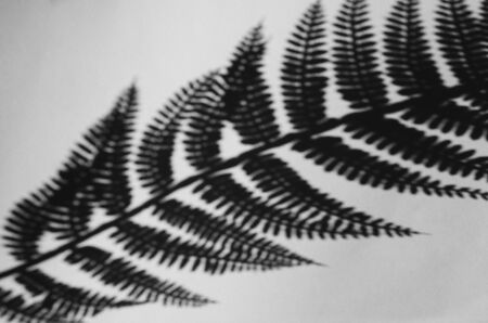 Shadow of fern leaf on white monochrome background. Black and white horizontal floral image Imagens
