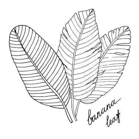 Vector banana leaf isolated on the white. Banana leaf line art vector. Çizim