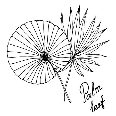 Vector palm tree leaf isolated on the white. Vector line art palm tree leaf. Illustration
