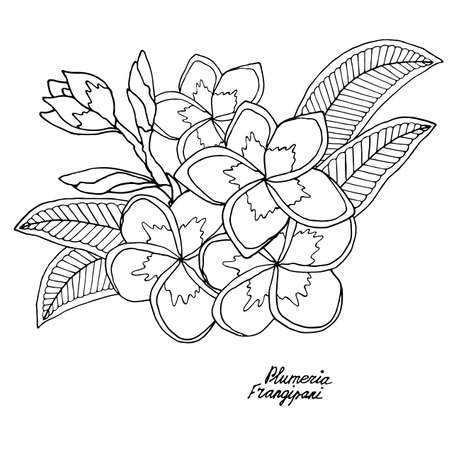 Plumerie or frangipany exotic flower isolated on white. Frangipany flower vector. Plumerie flower vector. Banque d'images - 130805407