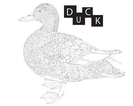 Duck animal coloring book or page isolated. Black line duck. Realistic duck line.
