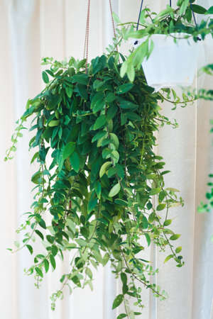 Aeschynanthus also known as Lipstick Plant. Aeschynanthus is a genus of about 150 species of evergreen subtropical plants in the family Gesneriaceae. Popular house plants for minimalism interior.