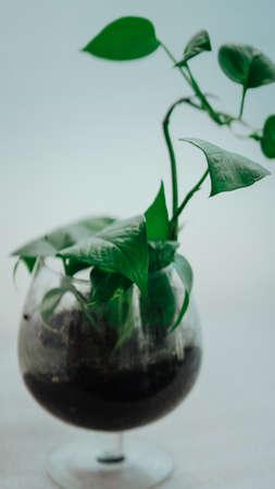Golden pothos grown in clear glass bottles. Stock Photo - 127050052