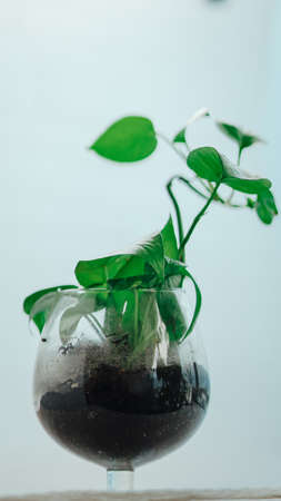 Golden pothos grown in clear glass bottles.