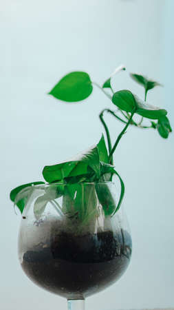 Golden pothos grown in clear glass bottles. Stock Photo - 127050182