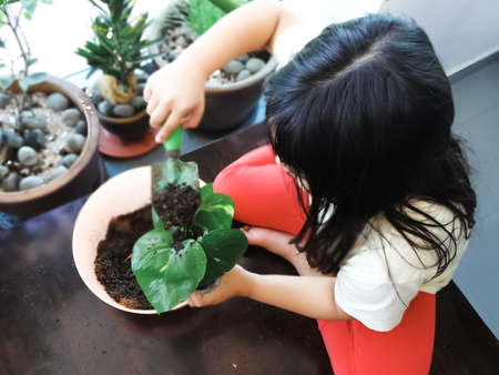 Child planting the greenery house plant called money plant. View from top.