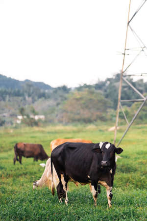 Cows grazing on a green field in a village in a tropical country.