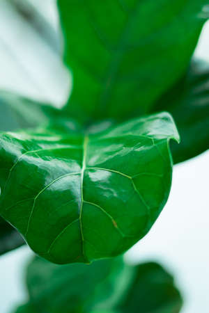 Fiddle fig, a popular housplants. Green plant with beautiful large leaves.