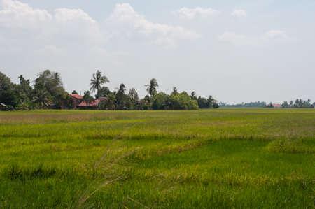 马来西亚吉打的黄绿色稻田景色