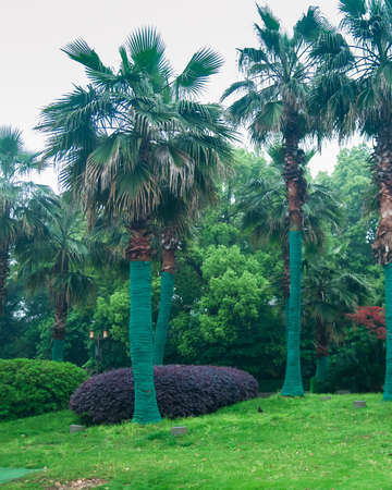 Palm trees wrapped with green cloth in the garden.