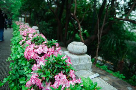Blooming Bougainvillea of magenta color in the garden in Wuhan, China.