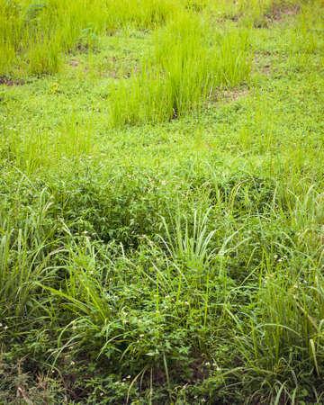Wild field of greenery grass in Malaysia.