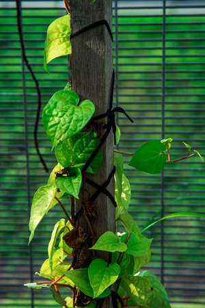 Betel leaves, betel leaf that is exposed to the morning sun, lacks focus and little noise effect