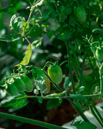 Green tomato plant. The tomato is the edible, often red, berry of the plant Solanum lycopersicum, commonly known as a tomato plant. 版權商用圖片