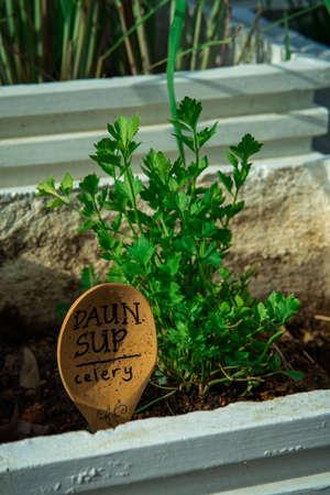 Celery (Apium graveolens) also known as