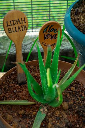 Aloe vera or