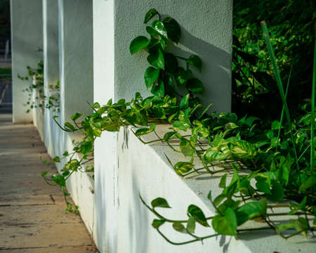 Creeper plant growing in wild, jungle vines climbing on tree trunk isolated on white background, clipping path included. Devil's ivy or Golden pothos, the money plant. 版權商用圖片