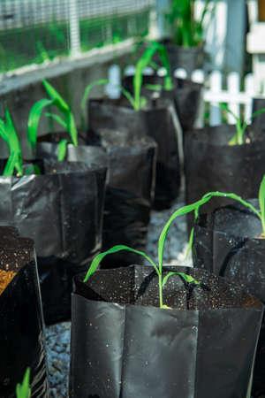 Vegetables seeds growing in black polibags
