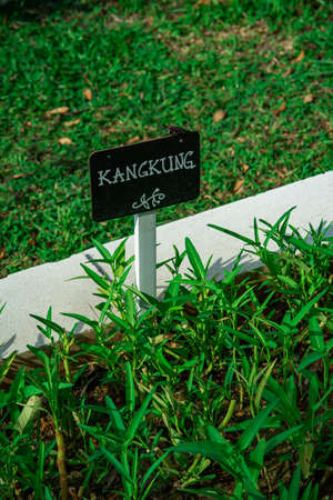 kangkung or water spinach growing in the garden. 版權商用圖片