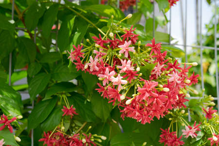 Close up of a flowering plant with tiny red color flowers bunches