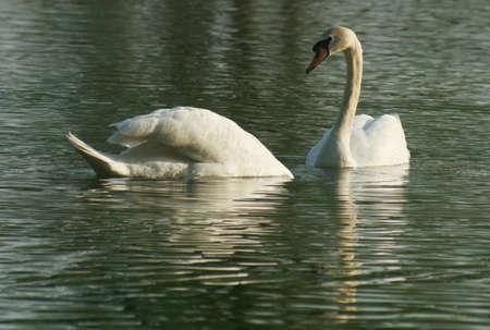 lovemaking: couple swans