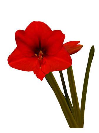 Red amaryllis, object white isolated background photo